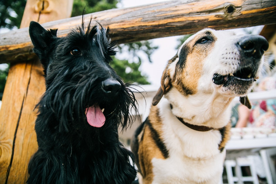 Closeup Photo of Scottish Terrier and Adult Short-coated White and Tan Dog