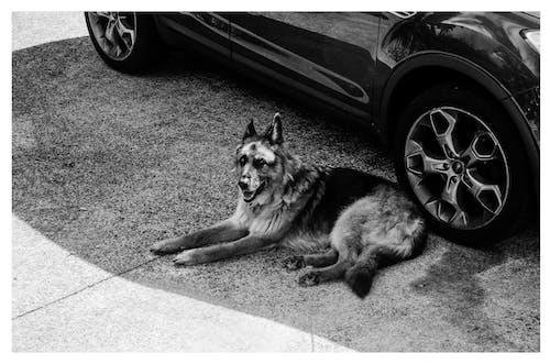 Foto d'estoc gratuïta de animal, automòbil, blanc i negre, bufó
