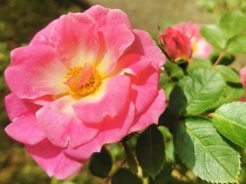 Free stock photo of beautiful flowers, beautiful nature, flower garden