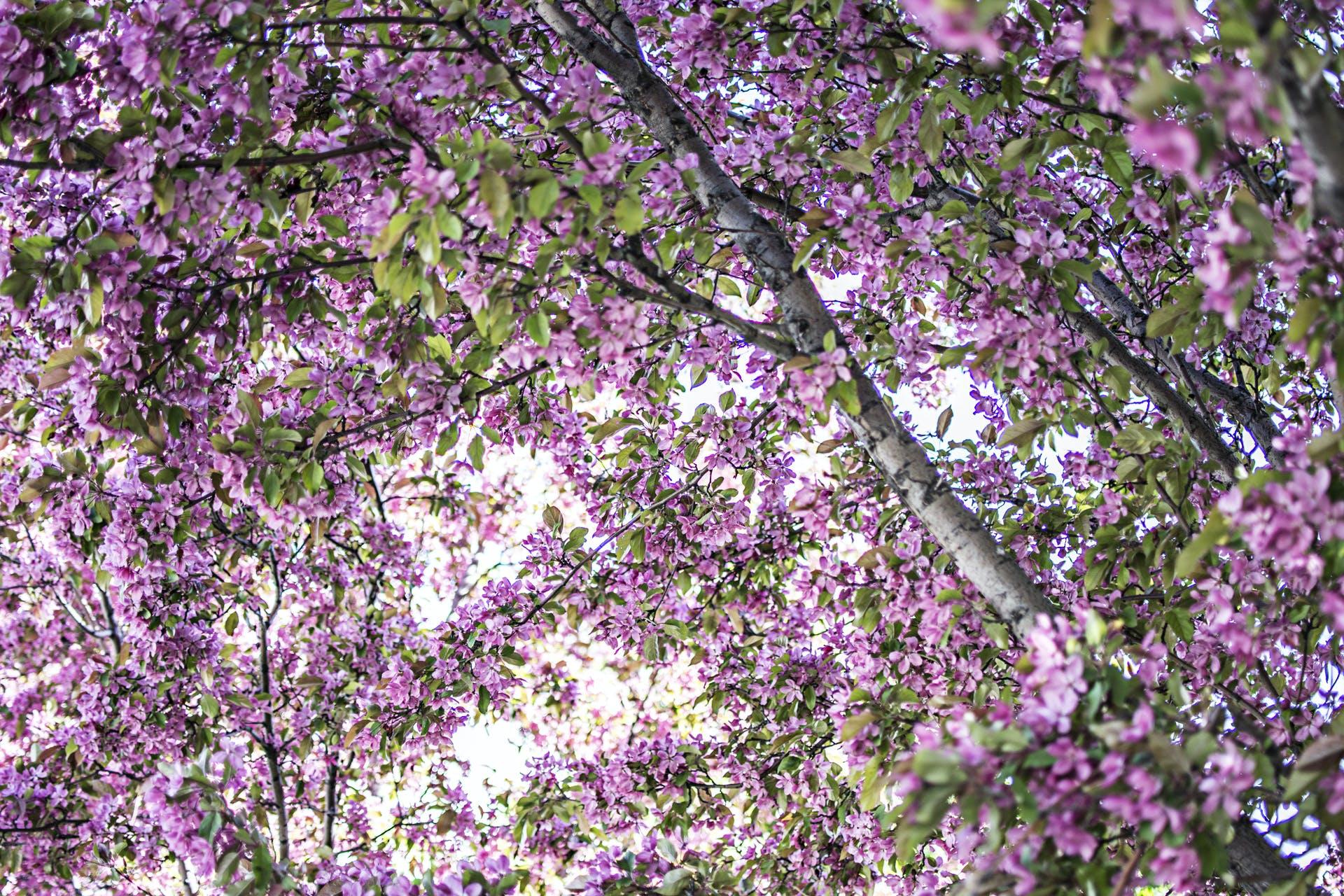 Free stock photo of blossom, cherry, pexels, tree