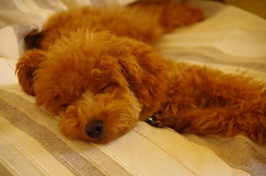 Free stock photo of dog, sleep, japan