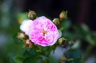 plant, flower, rose