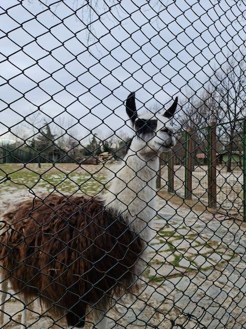 동물, 동물원, 라마의 무료 스톡 사진