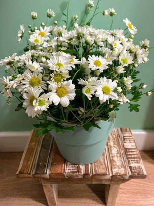 Free stock photo of flower pot, green wall, stool