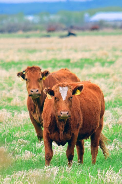 Free stock photo of beef, brown, cows