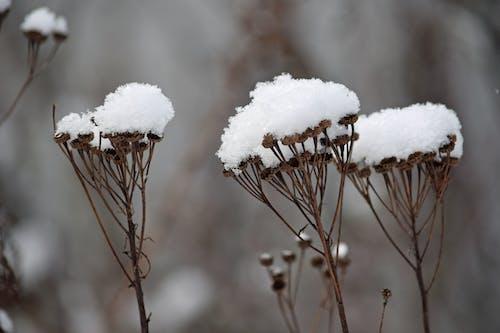 Free stock photo of snow, weeds, winter