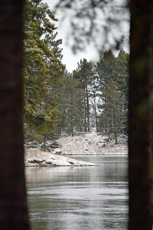 Free stock photo of pine trees, snow, water