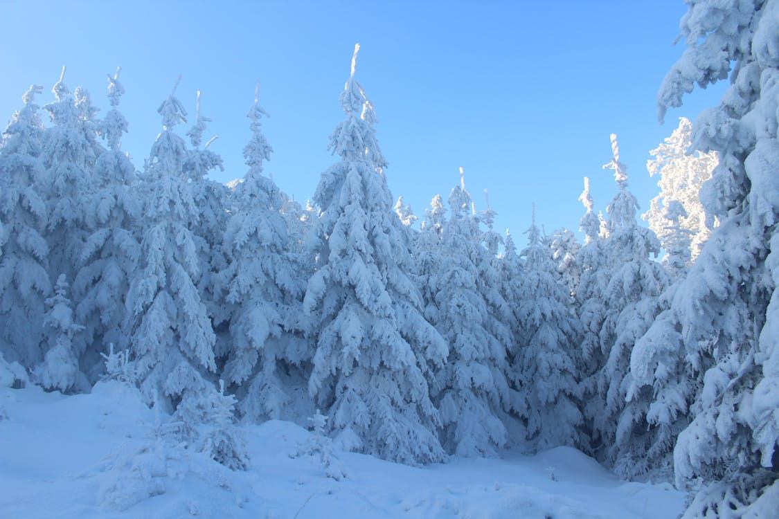 Сосны, покрытые снегом