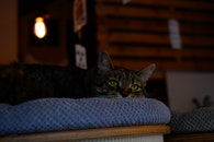 Brown Tabby Cat on Blue Fabric Padded Chair