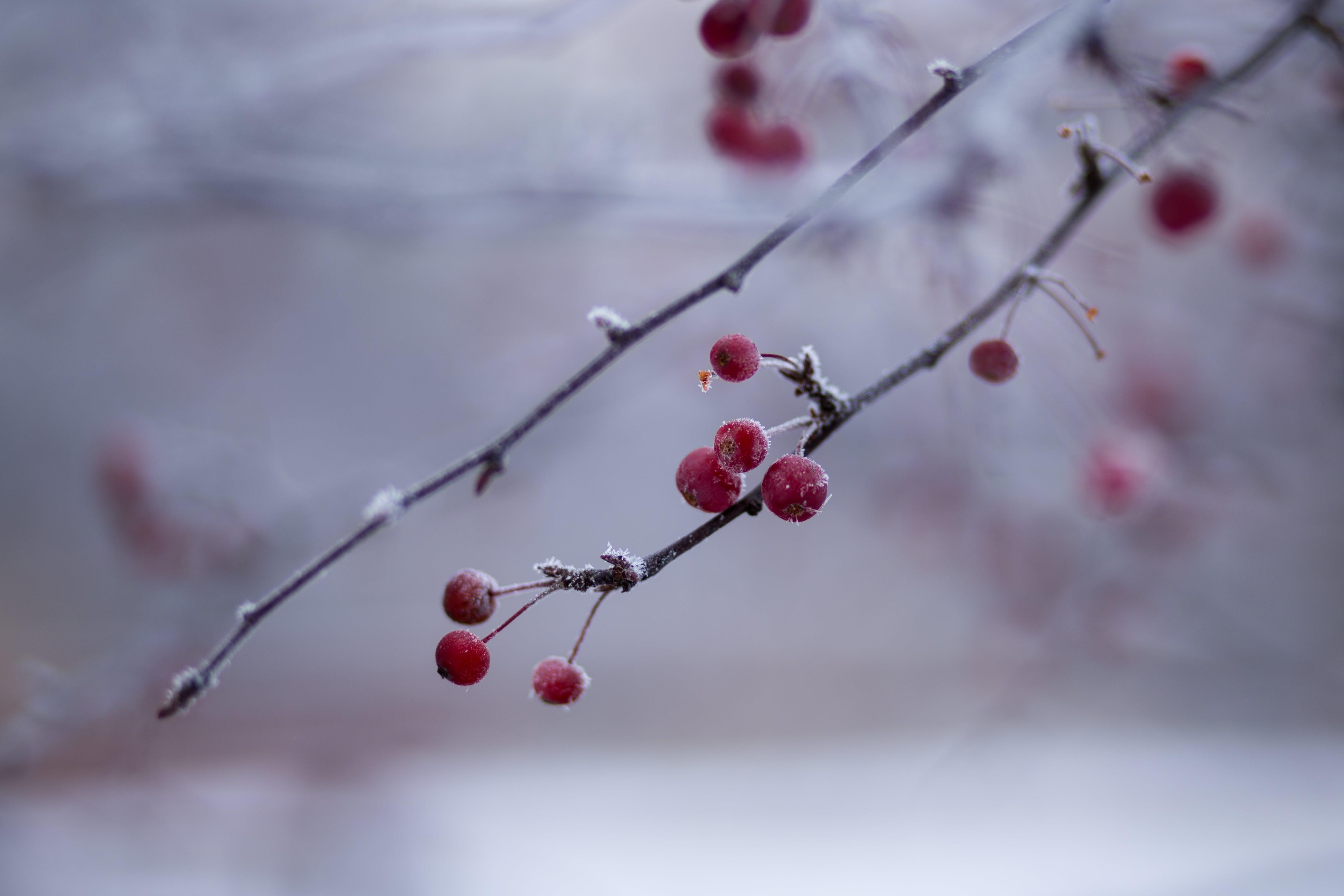 Darmowe zdjęcie z galerii z czerwony, gałęzie, jagody, kolory