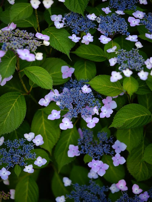 Close-Up Shot of Hydrangea Flowers in Bloom