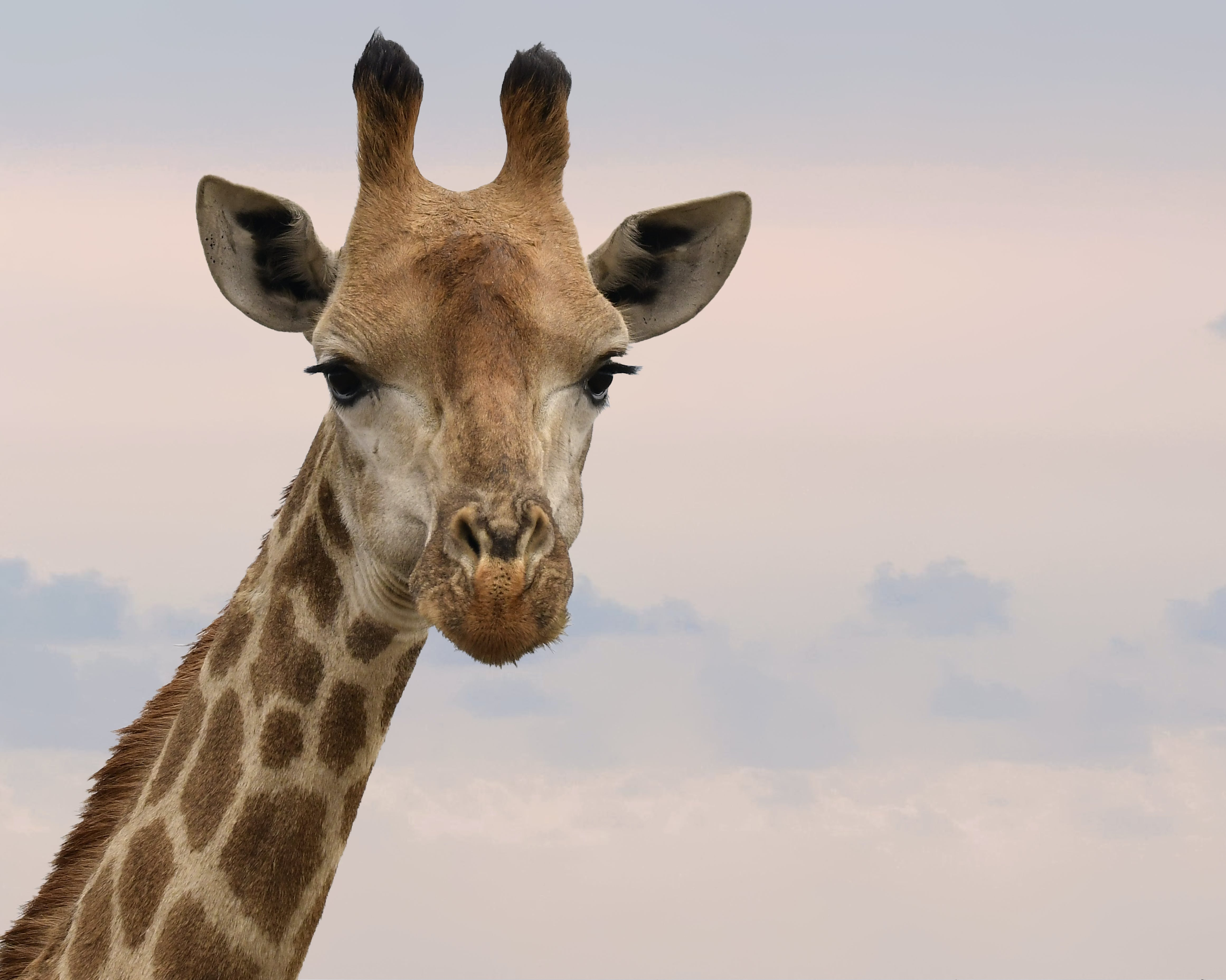 Close-Up Photography of Giraffe