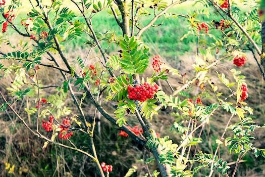 Free stock photo of red, tree, green, mountain ash