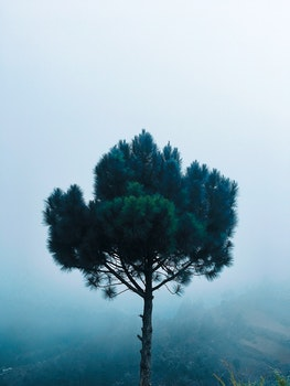Green Pine Tree at Daytime