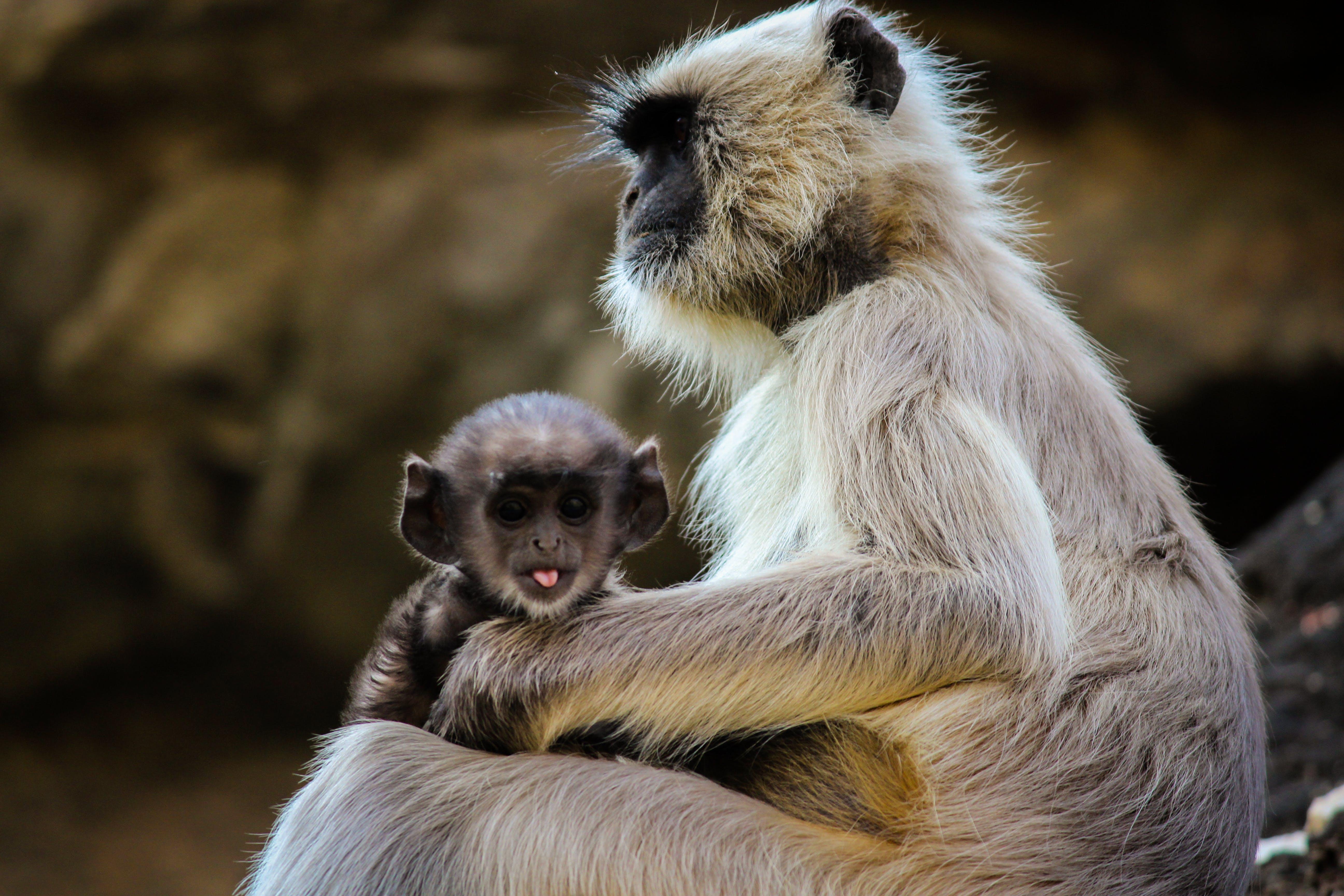 Free stock photo of animal, photography, monkey, wild