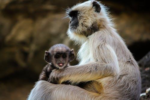 Безкоштовне стокове фото на тему «великі очі, дика природа, дикий, мавпа сидить»