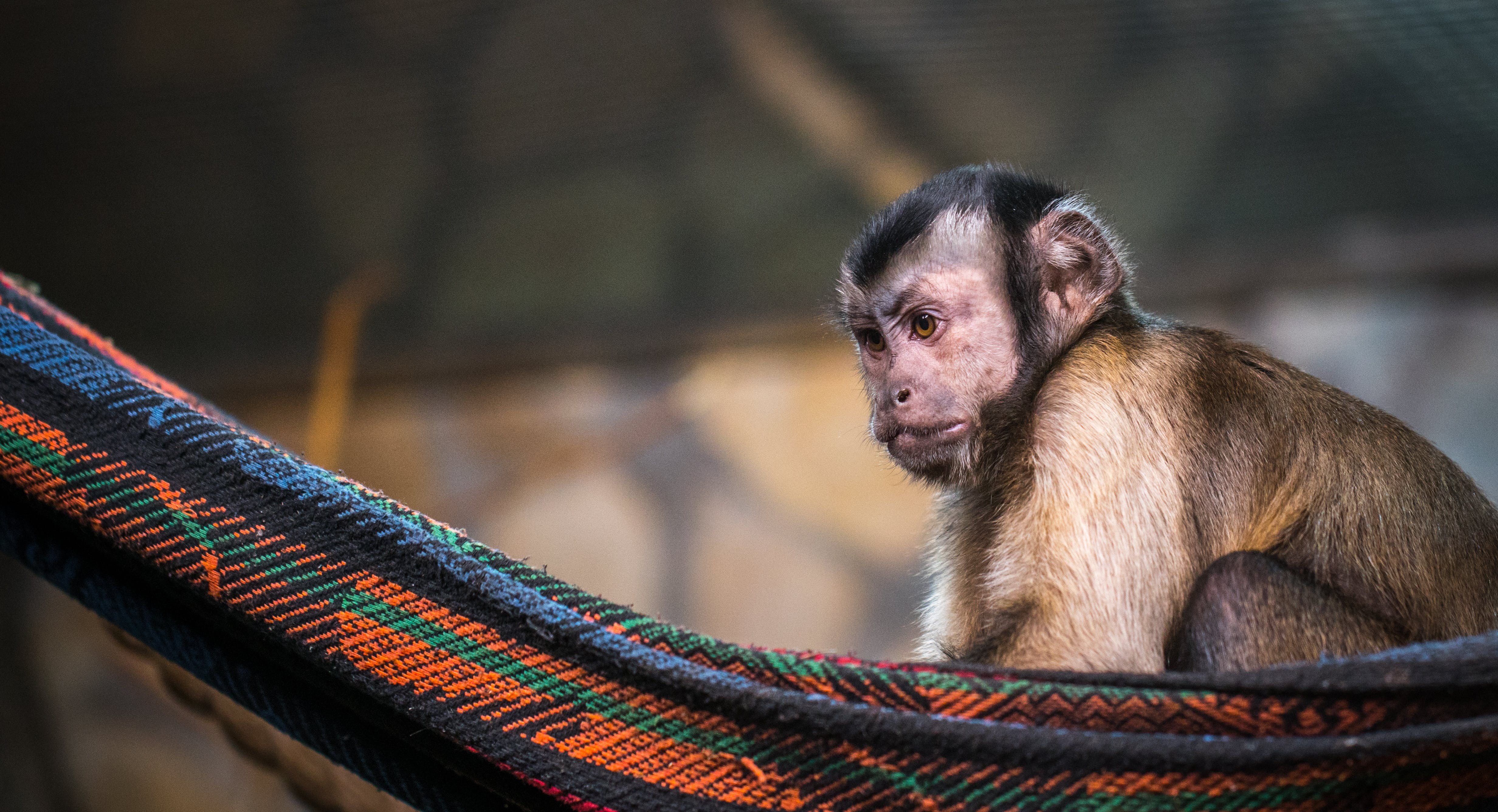 Brown Monkey on Red and Black Hammock