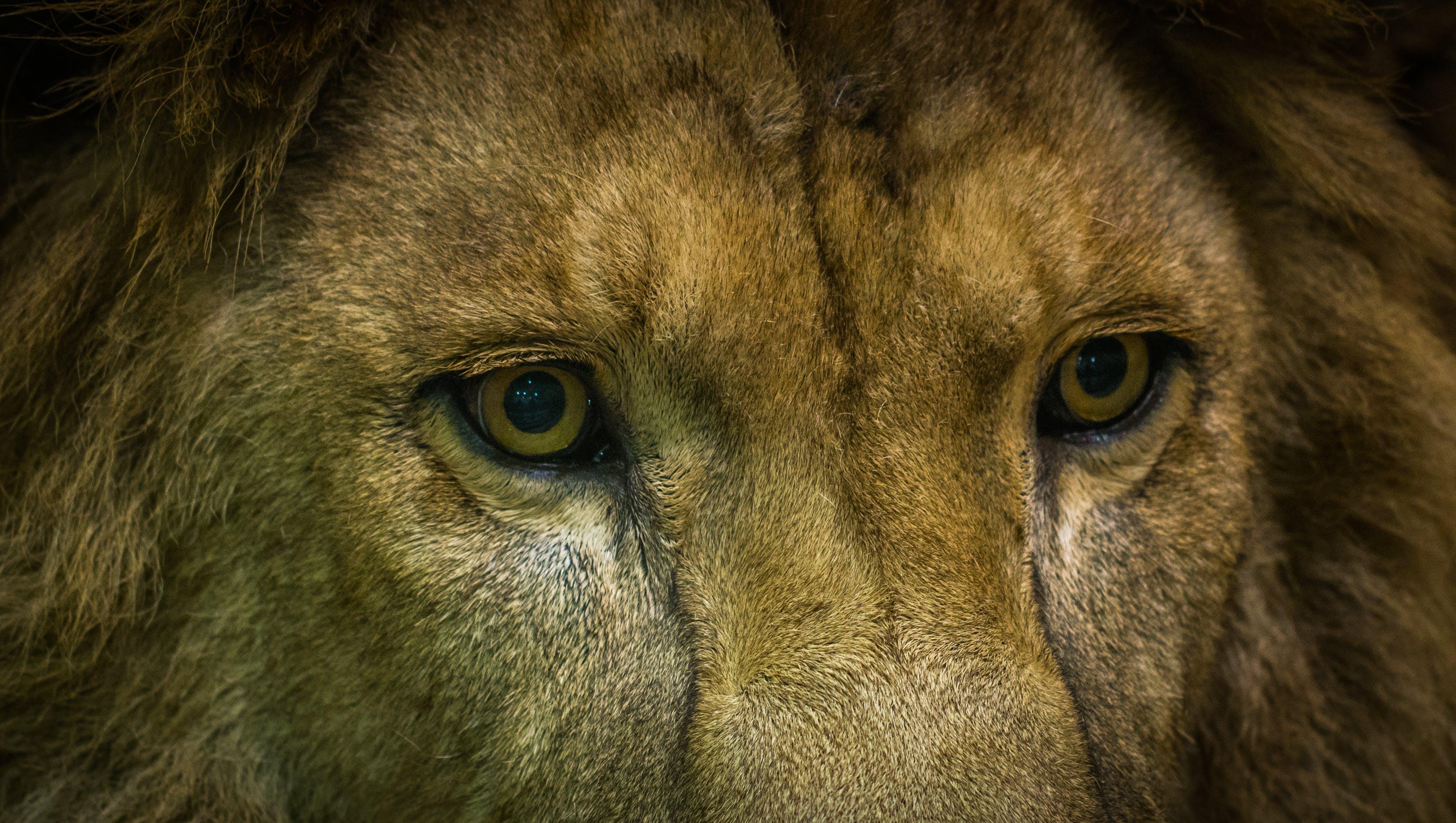 Close-Up Shot Of Lion