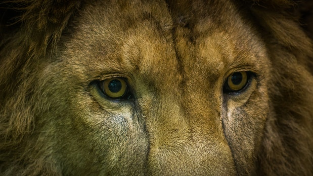 Close-Up Shot Of Lion