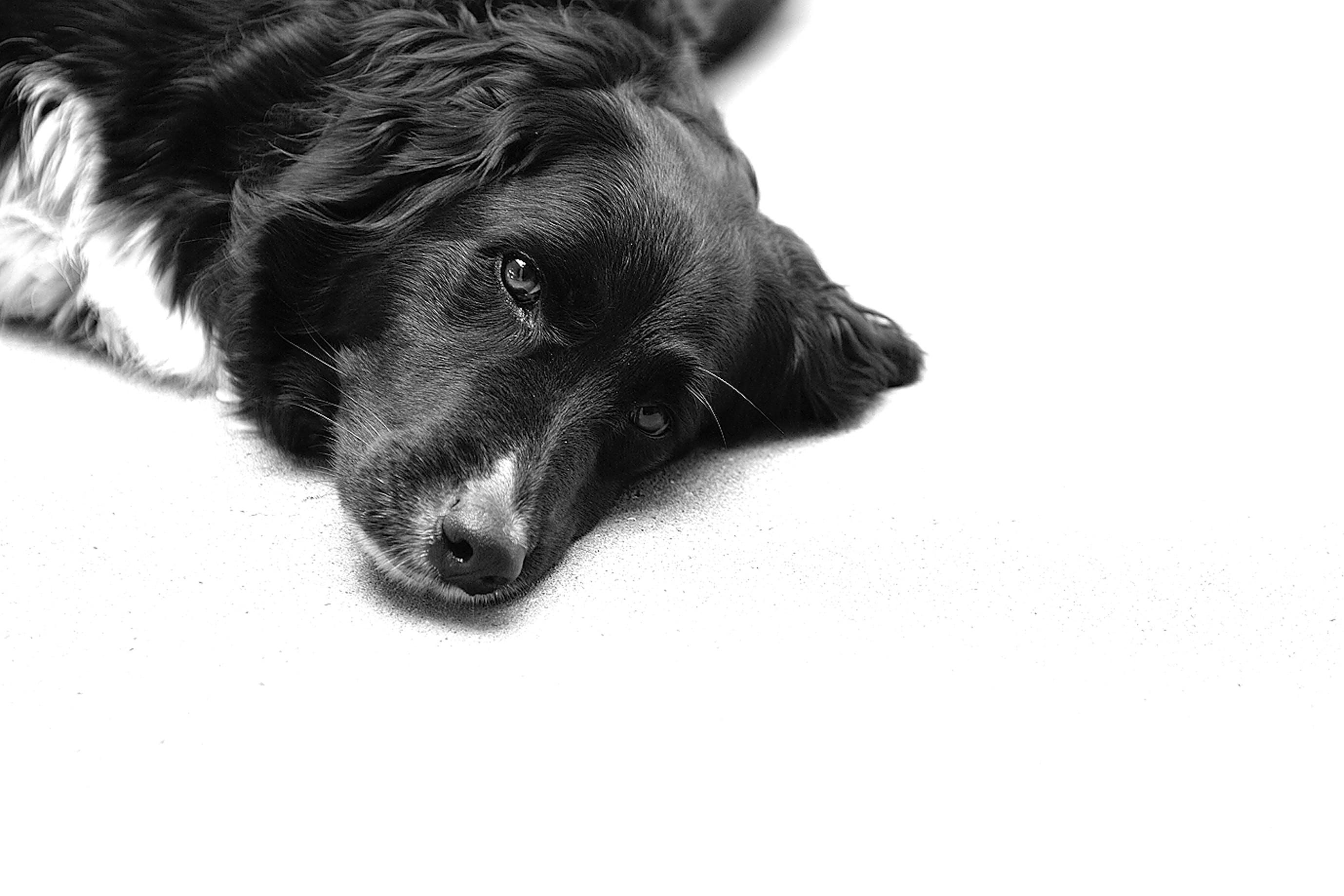 Free stock photo of black&white, dog head
