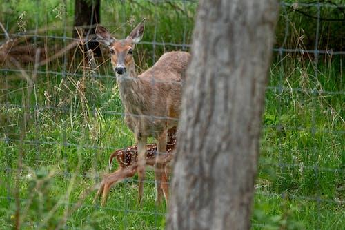 Fotos de stock gratuitas de adular, añojo, bambi