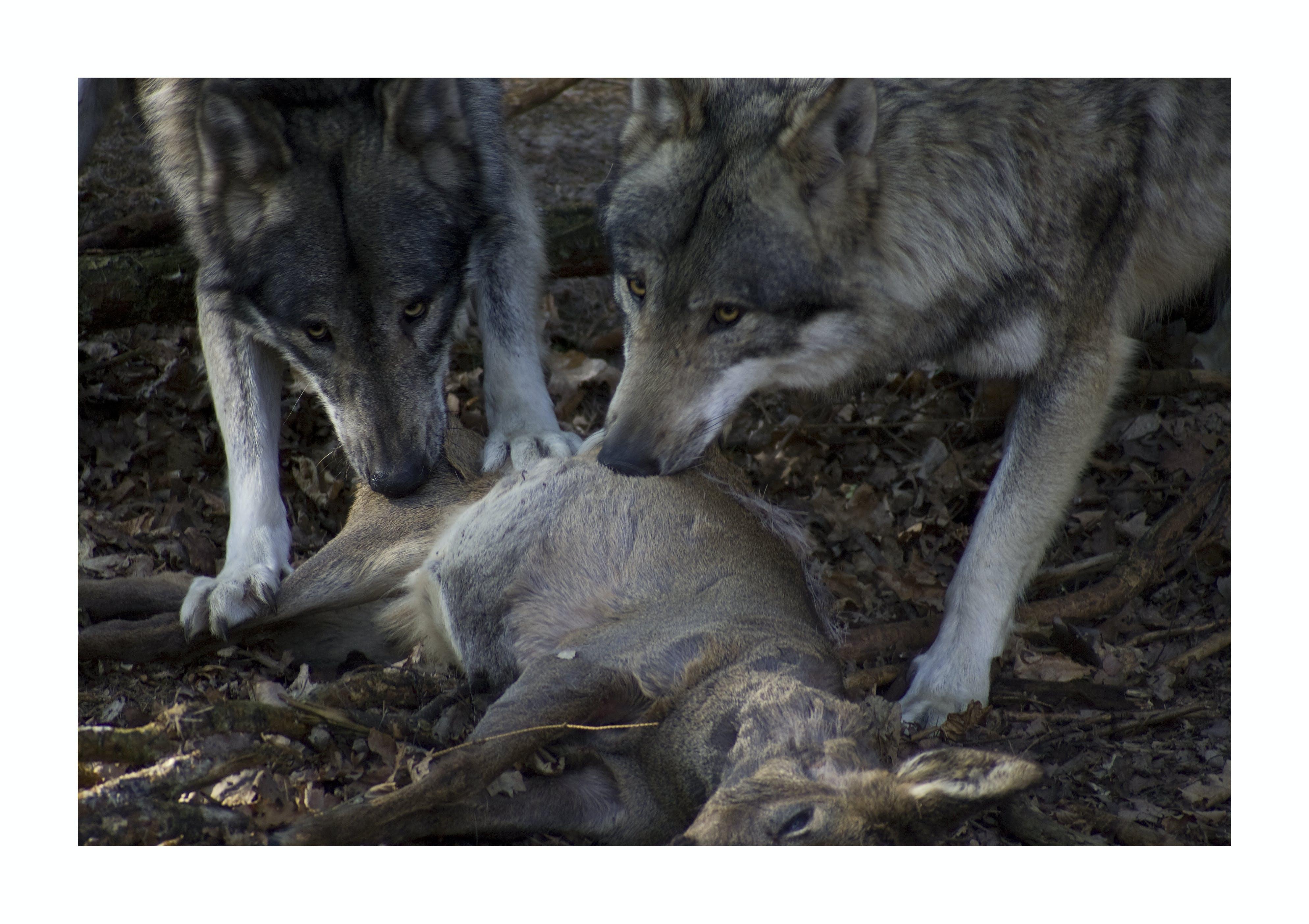 Free stock photo of carnivorous, grey wolf, roe deer