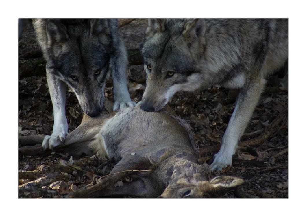 carnivore, chevreuil, loup gris