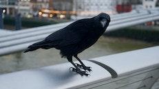 Shallow Photography on Black Crow