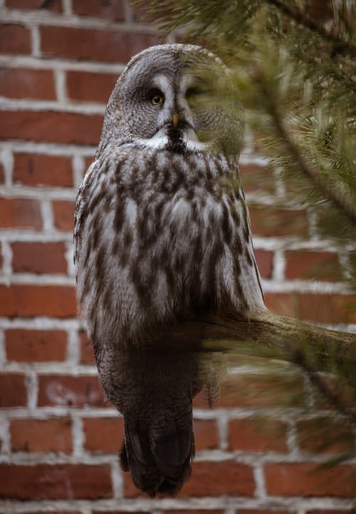A Great Gray Owl Perched on a Tree Branch