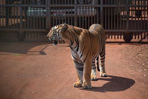 A Ferocious Bengal Tiger