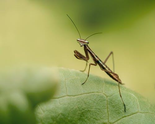 A Close Up of a Praying Mantis