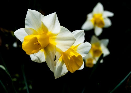 Free stock photo of blooming, bright, daffodil