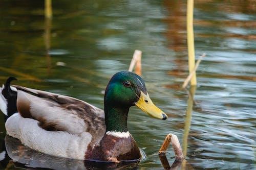 A Swimming Mallard Duck
