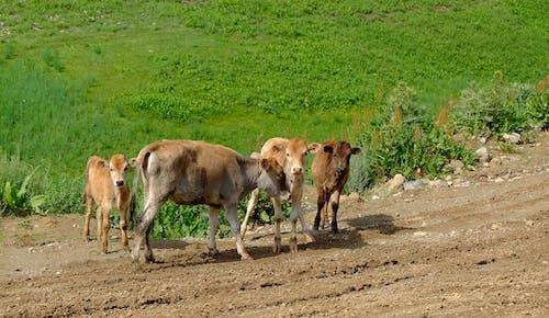 Ảnh lưu trữ miễn phí về bầy đàn, bò, bụi bẩn, màu xanh lá