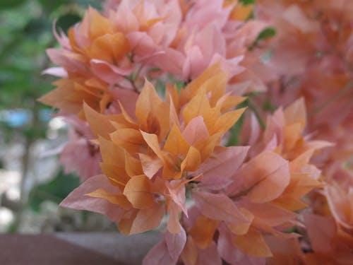 Ảnh lưu trữ miễn phí về hoa, Hoa cam, Hoa hồng