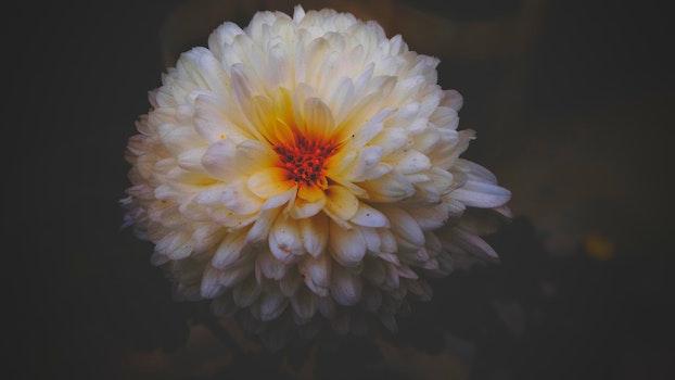 White Dahlia Flower Closeup Photography