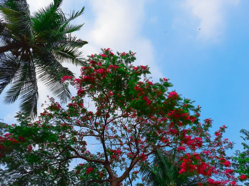 Free stock photo of blooming tree, blue sky, red flowers