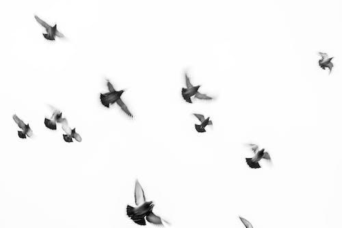 Photos gratuites de arrière-plan blanc, bnw, colombe, colombes