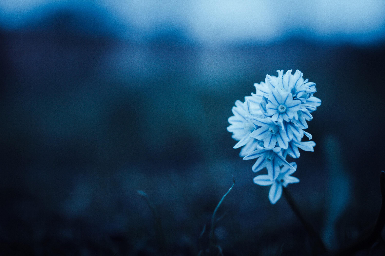 Blue Petaled Flower Free Stock Photo
