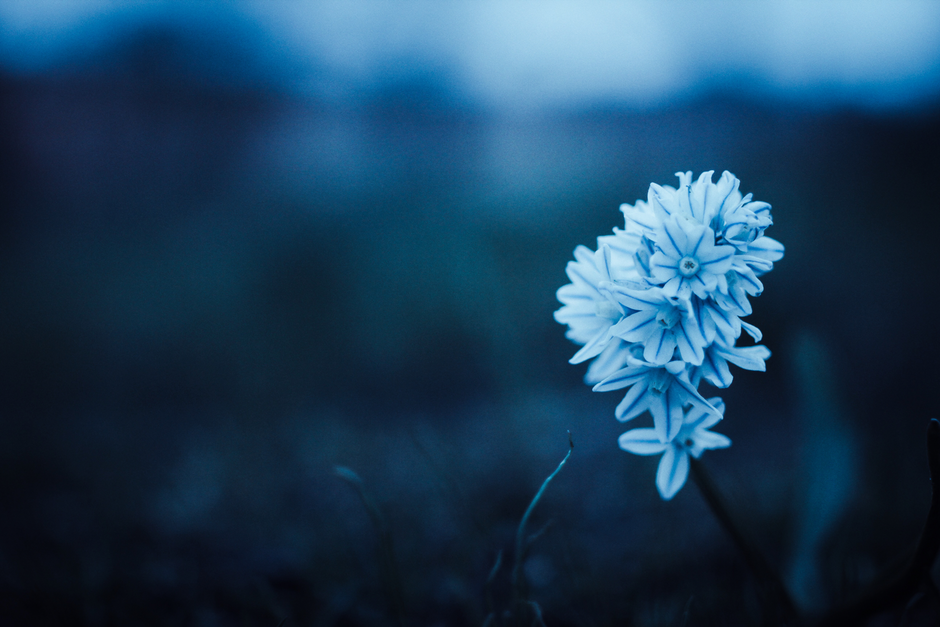 Blue Petaled Flower