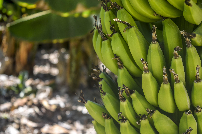 Základová fotografie zdarma na téma banán, banánovník, banány, draslík