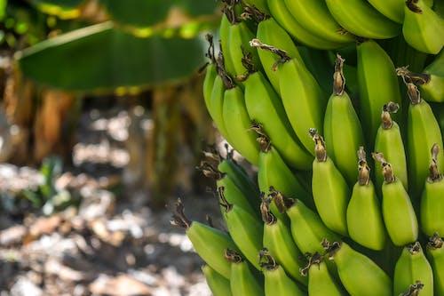 คลังภาพถ่ายฟรี ของ กล้วย, การเกษตร, การเจริญเติบโต, ต้นกล้วย
