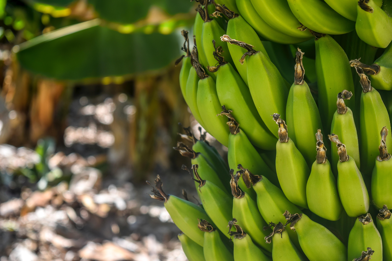 Banana Tree Free Stock Photo