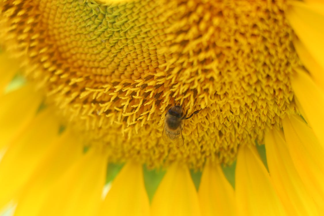 Micro Photo of Honey Bee of Yellow Sunflower Flower