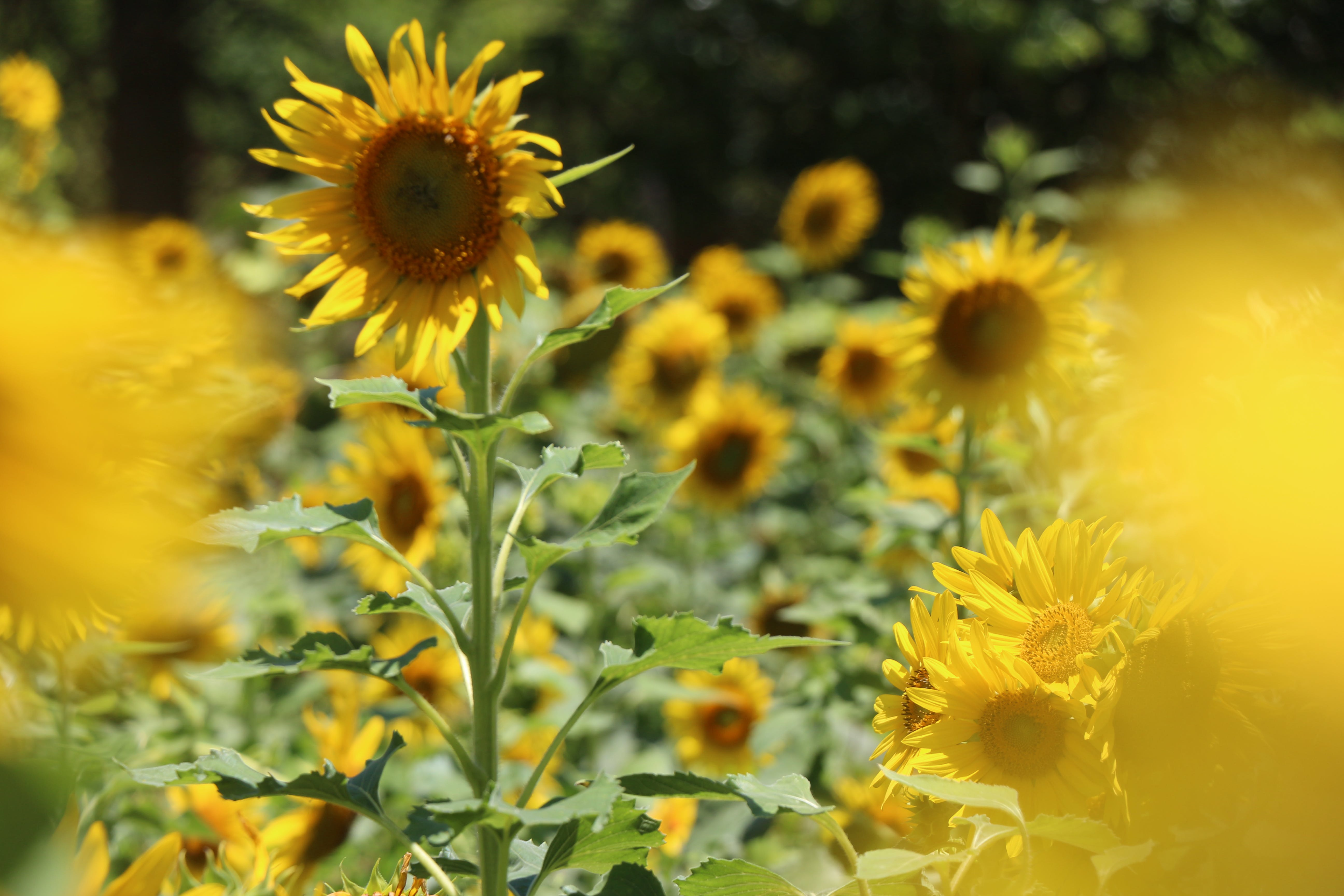 Photography Of Sunflowers