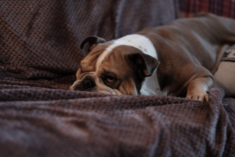 Brown Bulldog on Sofa