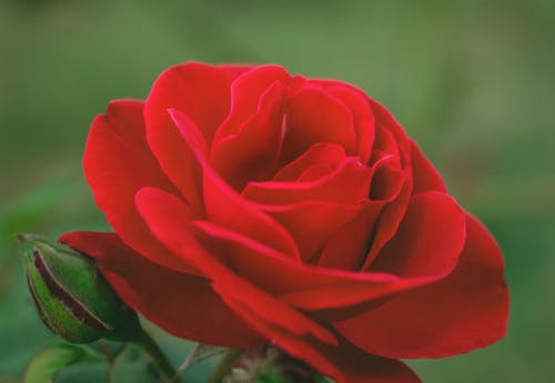 Macro Photography of a Blooming Red Rose