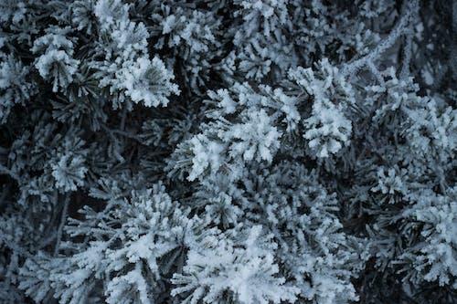 Gratis arkivbilde med frosset, furu, snø, tekstur