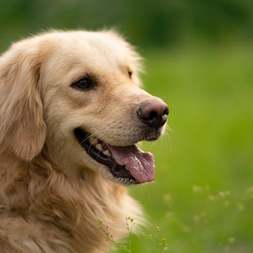 Golden Retriever Puppy on Green Grass Field