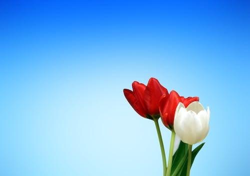 คลังภาพถ่ายฟรี ของ ดอกทิวลิป, ดอกไม้, พฤกษา, วอลล์เปเปอร์ HD